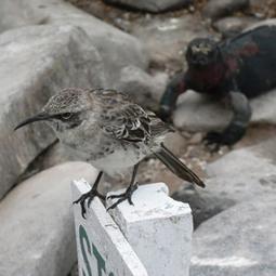 Le comportement parasitaire extrême de certains Moqueurs d ... - Ornithomedia   Psycho, brain, neurosciences   Scoop.it