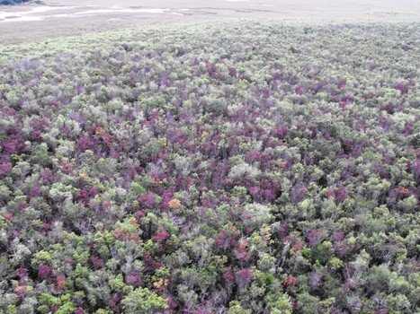 Tree disease sweeps through Everglades - Sun-Sentinel | Forest health | Scoop.it