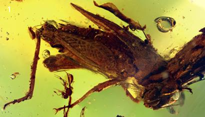 Une sauterelle miniature conservée dans l'ambre | EntomoNews | Scoop.it