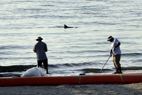 Dolphin lllnesses Linked to Gulf Oil Spill | A2 Sustainability (WJEC) | Scoop.it