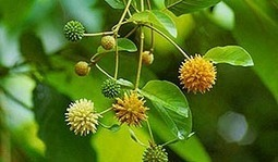 Kratom Alternatives - Comparing the Different Mitragyna Tree Species | Kratom guides and reviews | Scoop.it