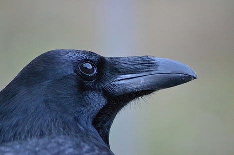Ravens might possess a Theory of Mind, say scientists | Amazing Science | Scoop.it