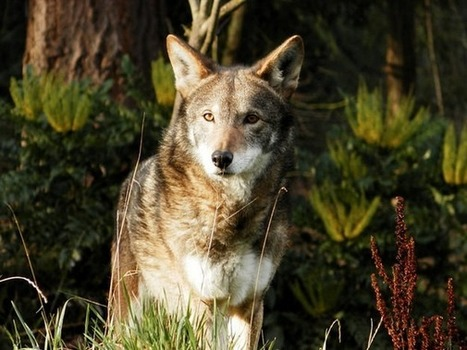 Save the Red Wolves from Extinction | GarryRogers NatCon News | Scoop.it