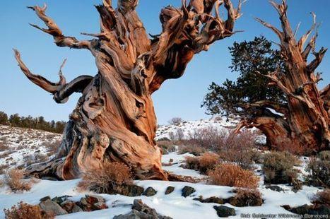 Nunca conoceras el árbol más viejo del mundo. | Actualidad forestal cerca de ti | Scoop.it