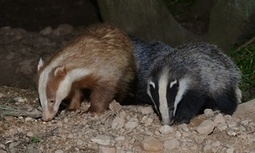 A special badger – with very special protectors   animals and prosocial capacities   Scoop.it