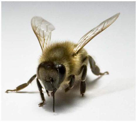 Une abeille reconnaît ses amies avec l'antenne droite | EntomoNews | Scoop.it