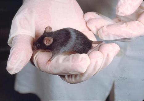 Ratones discapacitados vuelven a caminar con células madre humanas | Células madre | Scoop.it
