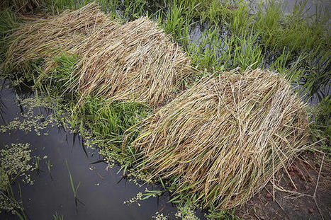 Will Japan run out of rice? - Christian Science Monitor | Hot of the press | Scoop.it