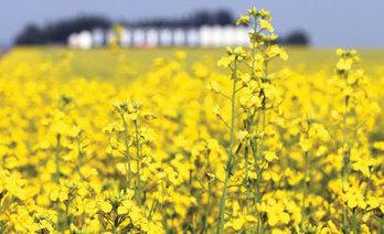 Canada Farmers Expand Oilseed Acres as Returns on Wheat Decline | Grain du Coteau : News ( corn maize ethanol DDG soybean soymeal wheat livestock beef pigs canadian dollar) | Scoop.it