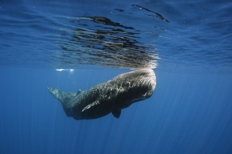 Scientists Film Rare Sperm Whale Encounter 600 Meters Below The Gulf Of Mexico | enjoy yourself | Scoop.it