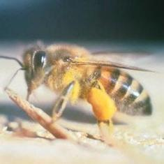 Bee Researchers Make Friends with a Killer: Scientific American | Sustain Our Earth | Scoop.it
