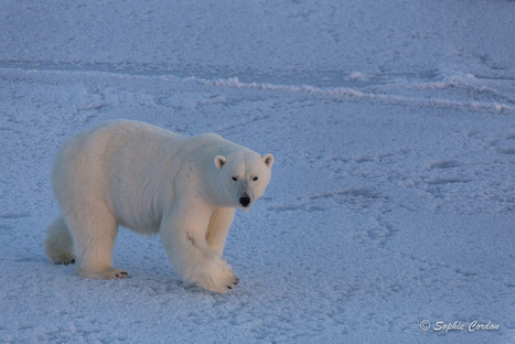 Photo bear #3... le retour #ours #banquise #Svalbard | Arctique et Antarctique | Scoop.it