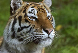 Tiger genome sequenced: Tiger, lion and leopard genomes compared | Billion Genomes Project | Scoop.it