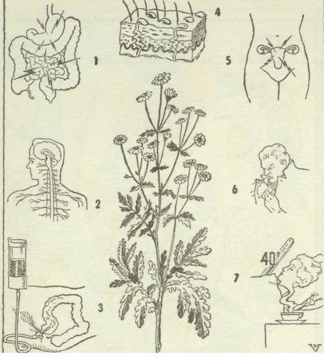 manzanilla1.jpg (1059x1163 pixels) | LA MANZANILLA UNA MARAVILLA.(Matricaria chamomilla L. ) | Scoop.it