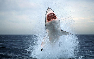What really happens to #sharks in a storm ~ Young sharks flee their nurseries & return when passed. | Rescue our Ocean's & it's species from Man's Pollution! | Scoop.it
