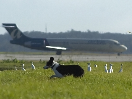 Airports get creative to combat threat of bird strikes | AirportBox | Scoop.it