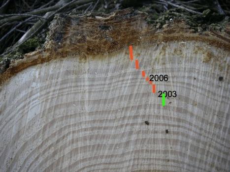 La dendrochronologie, l'art de lire dans les cernes des arbres | MycorWeb Plant-Microbe Interactions | Scoop.it