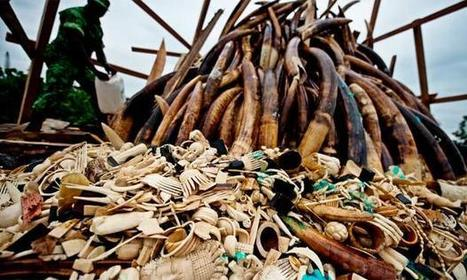 VIDEO REPORT: Illegal Wildlife Trade Explodes Into a $19 Billion Criminal Enterprise, Threatening National Security | Biodiversity IS Life  – #Conservation #Ecosystems #Wildlife #Rivers #Forests #Environment | Scoop.it