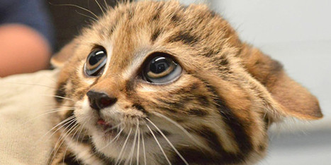 It Doesn't Get Much Cuter Than These Little Black-Footed Cats | The Good News | Scoop.it
