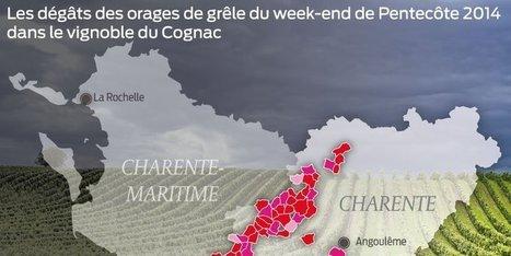 Grêle dans le Cognaçais : la vigne a bien poussé, mais… | Actualités du Cognac | Scoop.it