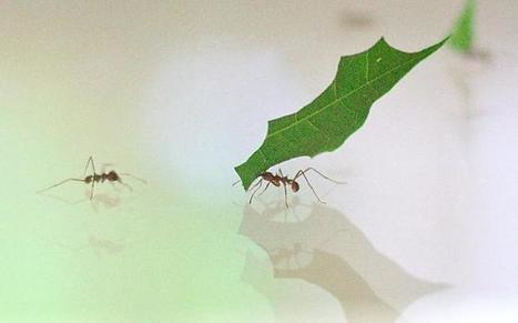 Leaf-cutter Ants May Reveal Secrets to Creating Biofuels | Biomimicry | Scoop.it