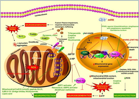Mitochondria targeted therapeutic approaches in Parkinson's and Huntington's diseases | Neuroscience: Pharmacology & Drug Discovery | Scoop.it