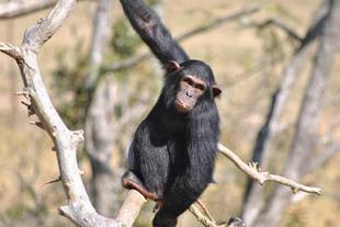 Los chimpancés tienen un sentido de la justicia similar al de los humanos | I didn't know it was impossible.. and I did it :-) - No sabia que era imposible.. y lo hice :-) | Scoop.it
