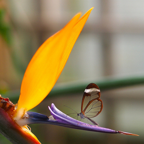 The Bird of Paradise Without Wings ~ Kuriositas   All about nature   Scoop.it
