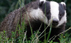 The problem with badger culls | MicrobiologyBytes | Scoop.it