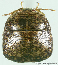 Extension offers advice on kudzu bugs | NCSU CALS | North Carolina Agriculture | Scoop.it