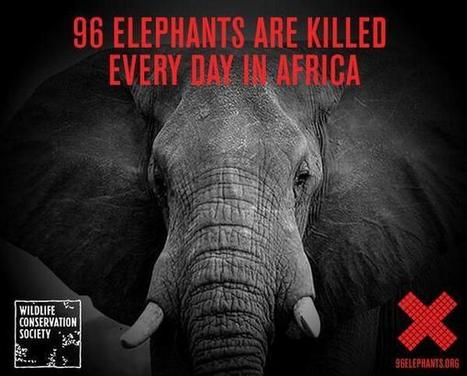 Twitter / twigtops: 96 Elephant are Killed Every ... | Game Guides in Africa.. | Scoop.it