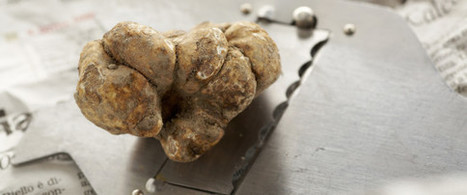 Truffle Season Begins With The White One | Italia Mia | Scoop.it