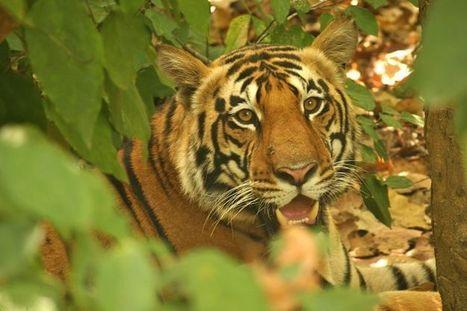 Vida Selvagem na Índia – Encontro com Pardais e Predadores | viagem para india | Scoop.it
