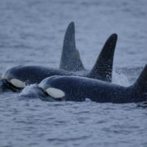 Puget Sound Orcas To Remain on Endagered List - Discovery News | #Orca #Avenger Loki Mars | Scoop.it