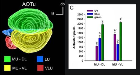 CNRS - Sciences biologiques - Codage spatial des couleurs dans le cerveau des abeilles | Abeilles, intoxications et informations | Scoop.it