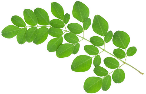 Moringa Oil Wholesale Supplier and Manufacturer in India | 100% Pure and Orgnic Carriers Oils | Scoop.it