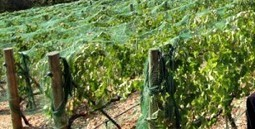 Why do Wineries put Netting on the Grapevines? - | Wine Tasting Tips from Villa del Monte Winery | Scoop.it