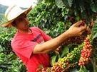 Promueven cultivos de café para frenar producción de hoja de coca ... - Caracol Radio | Café | Scoop.it