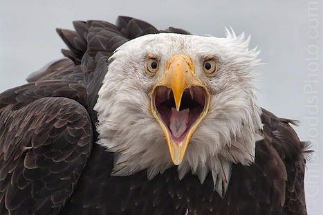 Stunning Photographs of Bald Eagle | Incredible Snaps | Celebrating Beautiful Moments In Time | Scoop.it