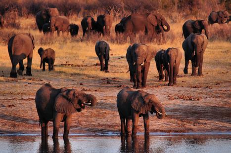 Poachers poison 90 elephants with cyanide in Zimbabwe wildlife park   hunting   Scoop.it