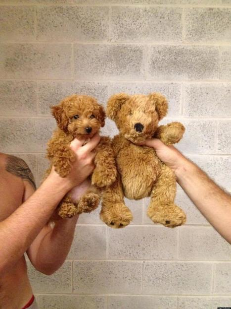 ADORABLE: Dog Who Looks Like A Teddy Bear | Cute Teddy Bears & Stuffed Animals | Scoop.it