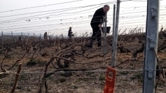 La confusion sexuelle dans le vignoble champennois - France 3 Champagne-Ardenne | Wine industry news | Scoop.it