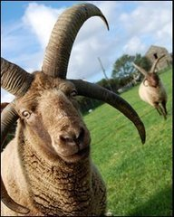 BBC - Farming the Manx Loaghtan sheep | Countryside affairs, walks, Fishing an local craft beers. | Scoop.it