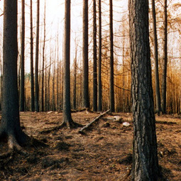 Chernobyl's Trees Won't Decay, Increasing the Risk of Nuclear Forest Fire | Amazing Science | Scoop.it