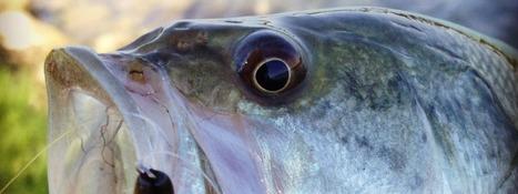 Drop shot: sempre e ovunque - Pesca ti Amo | Pescare e la Pesca Sportiva | Scoop.it