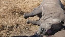 Le braconnage de rhinocéros s'aggrave encore, leur déclin désormais prévu pour 2016 | SandyPims | Scoop.it