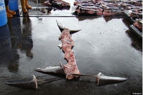 Gruesome Shark-Finning Tactic Lets Costa Rican Fishermen Exploit Legal Loophole   earthmergency   Scoop.it