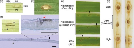 Serotonin attenuates biotic stress and leads to lesion browning caused by a hypersensitive response to Magnaporthe oryzae penetration in rice - - The Plant Journal - | Plant-Microbe Interaction | Scoop.it