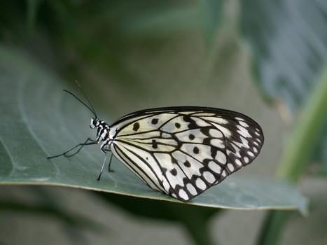 Photo de Papillon asiatique : Grand planeur - Idea leuconoe - Paper Kite | kitesurf | Scoop.it
