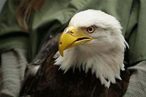 3D Printing to the Rescue: Bald Eagle Gets A New Beak | 3d Print | Scoop.it